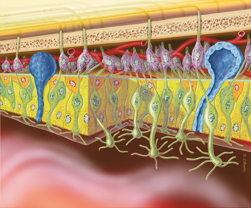illustration of Conceptual depiction of the various cells and structures involved with the sense of smell.
