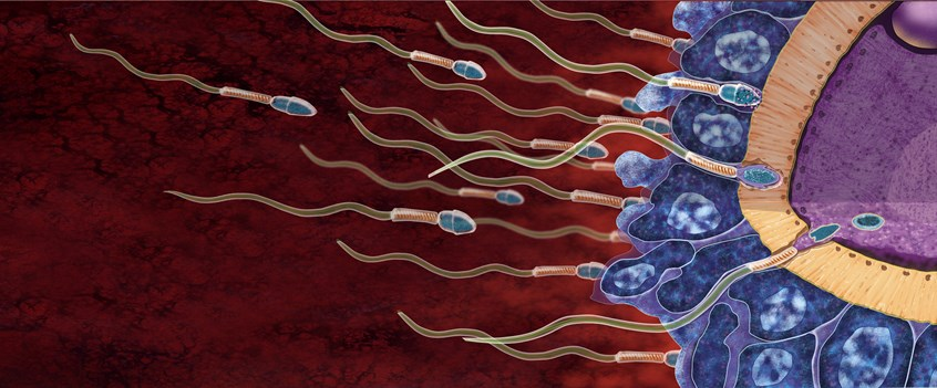 illustration of Sperm and the stages of fertilization.