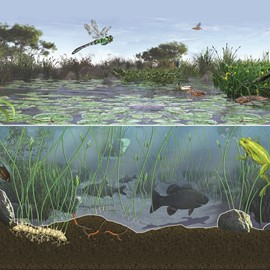 illustration of A look at the edge of a wetland and inside a thriving pond ecosystem, where herons, frogs, fish, dragonflies and more thrive. Created for How it Works magazine using eon Vue and painted in Adobe Photoshop. By N.R. Fuller 2011, all rights transferred to HIW. Please contact Sayo-Art LLC for similar work. (science, biology, ecology, textbook, infographic, nature, wildlife)