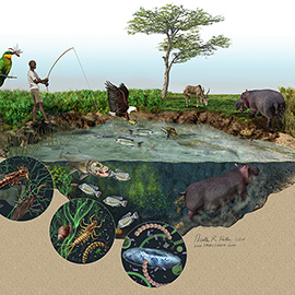 illustration of Until recently, our knowledge of hippos impact on ecosystems has been remarkably slim due to the danger they pose to scientists. New research has shed light on their huge ecological impact: from increased grazing due to the shortened grass lawn they create, to water ecosystems impacted by their defecation. (science; art; illustration; technical; information graphics; ecology; animals; africa; kenya; river; eagle; fish; pond; fisherman; tilapia; food web)
