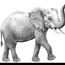 illustration of A pen drawn illustration of an elephant for Wild Aid - Year of the Elephant