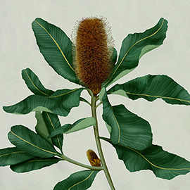 illustration of botanical illustration, technical drawing, vintage scientific, banksia, native plant, organic, detailed, realistic, gouache, green, gardening, garden, Australian flora, leaves, flower, Gouache, Pencil, Realism, Book Covers, Botanical, Editorial, Nature, Posters, Still Life, Environmental