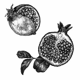 illustration of Detailed ink drawing of pomegranates