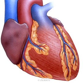 illustration of Human Heart normal anatomy showing key structures.