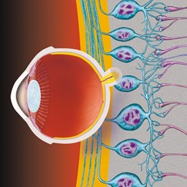 illustration of Depiction of the key cellular structures and layers of the retina.