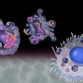 illustration of Depiction of the stages of natural cell death (apoptosis).